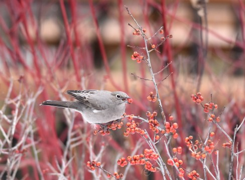 Townsend's Solitaire eating Winterberry